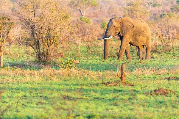 Afrikanischer Elefant, Loxodonta africana, 20120924-MSF5893