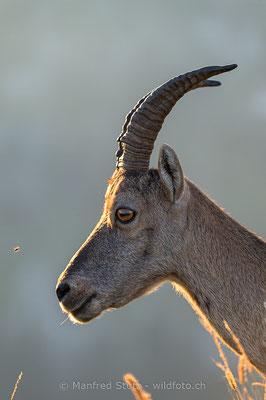 Alpensteinbock, Capra ibex, Steingeiss, Weiblich, 20150829-D041872