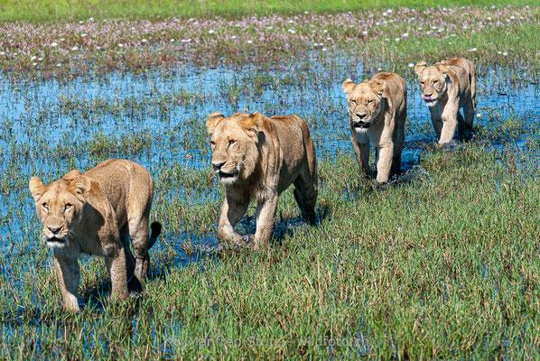 Afrikanischer Löwe, Panthera leo, Weiblich, Männlich, _MSF7886