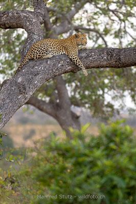 Afrikanischer Leopard, Panthera pardus pardus, 20170704-D4D0024