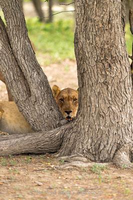 Afrikanischer Löwe, Panthera leo, Weiblich, _D4D3472