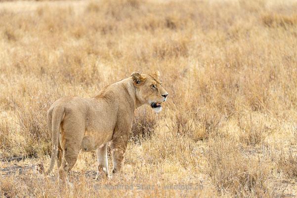 Afrikanischer Löwe, Panthera leo, Weiblich, 20140530-i00348