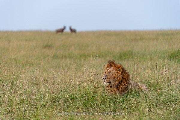 Afrikanischer Löwe, Panthera leo, Männlich, 20160209-_D046714