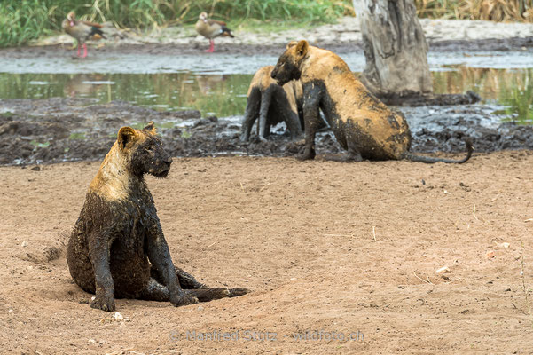 Afrikanischer Löwe, Panthera leo, Weiblich, 20140530-i00732