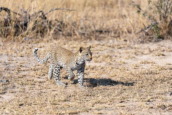 Afrikanischer Leopard, Panthera pardus pardus, 20170703-DSC-4632