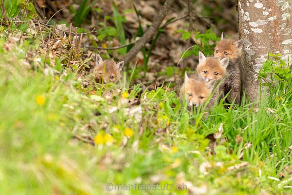 Junge Füchse im Jurapark Aargau, Kanton Aargau