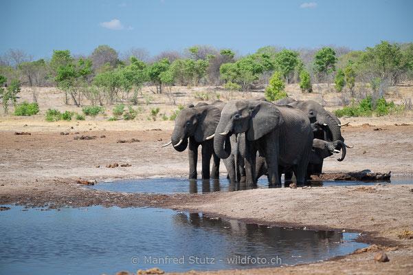 Afrikanischer Elefant, Loxodonta africana, 20131025-MSF9688