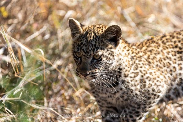 Afrikanischer Leopard, Panthera pardus pardus, 20170703-DSC-4021