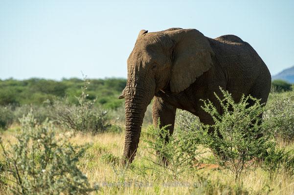 Afrikanischer Elefant, Loxodonta africana, 20180225-D4D4674