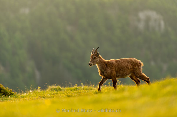 Alpensteinbock, Capra ibex, Steingeiss, Weiblich, 20180526-D4D0455-2