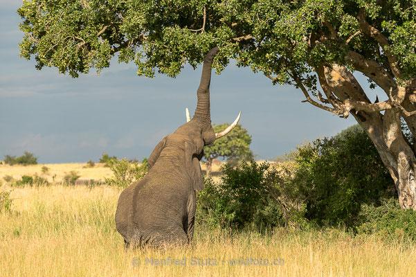 Afrikanischer Elefant, Loxodonta africana, 20140604-MSF7014