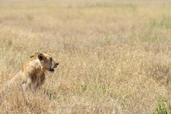 Afrikanischer Löwe, Panthera leo, Männlich, 20140601-_MSF4725