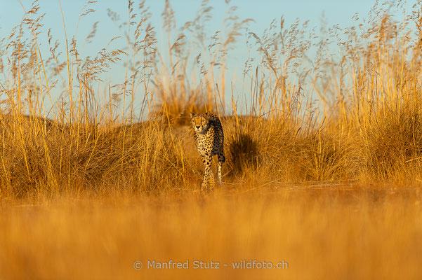 Gepard, Acinonyx jubatus, 20161007-D4D5351