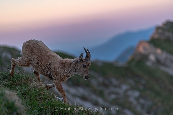 Alpensteinbock, Capra ibex, Steingeiss, Weiblich, 20190601-9158