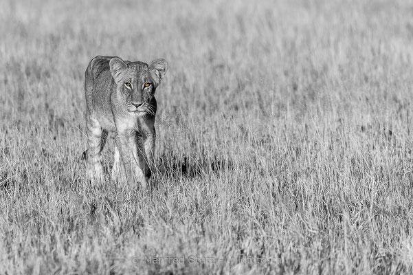 Afrikanischer Löwe, Panthera leo, Jungtier, 20150305-BW.2015.013
