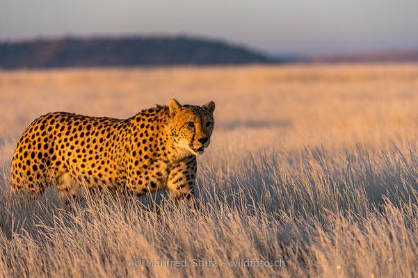 Gepard, Acinonyx jubatus, 20170629-D4D6822