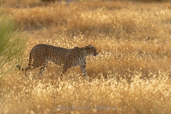Gepard, Acinonyx jubatus, 20161007-D4D7101