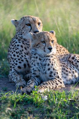 Gepard, Acinonyx jubatus, 20160206-D041101