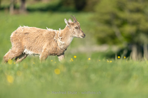 Alpensteinbock, Capra ibex, Steingeiss, Weiblich, 20160609-D4D3283