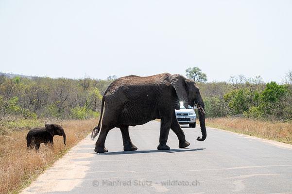 Afrikanischer Elefant, Loxodonta africana, 20120921-MSF4524