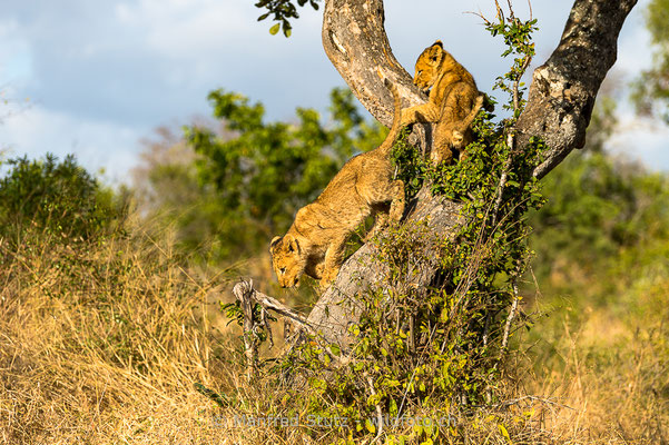 Afrikanischer Löwe, Panthera leo, Jungtiere, 20170704-_D4D0343