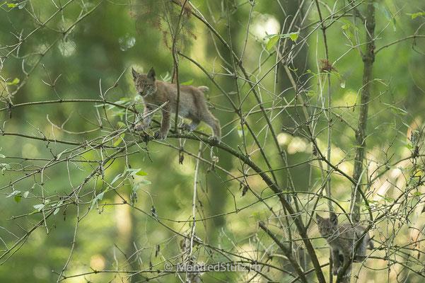 Jungluchse am spielen, Eurasischer Luchs, Wildpark Gangelt, Deutschland