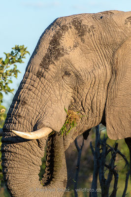 Afrikanischer Elefant, Loxodonta africana, 20130219-MSF8421