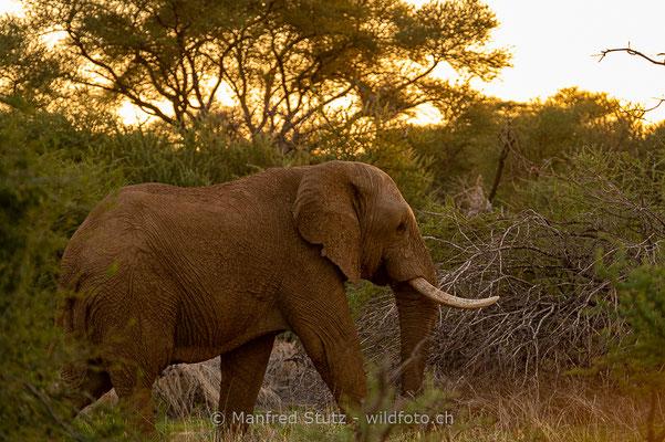 Afrikanischer Elefant, Loxodonta africana, 20180226-D4D5864
