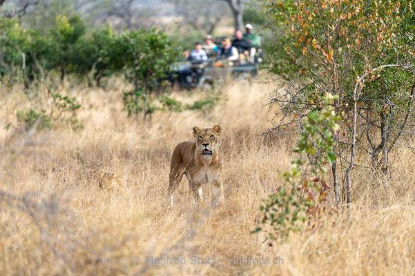 Afrikanischer Löwe, Panthera leo, Weiblich, 20170704-_D4D1119