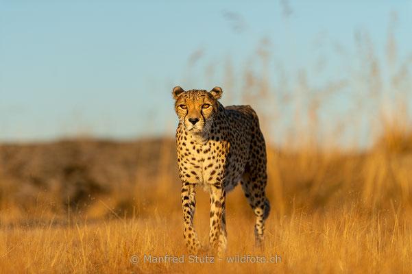 Gepard, Acinonyx jubatus, 20161007-D4D5443