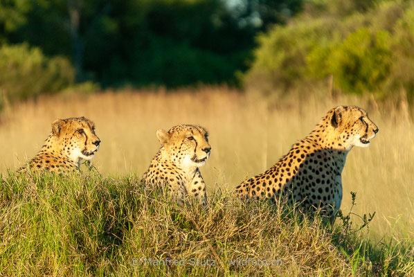 Gepard, Acinonyx jubatus, 20120401-MSF8575
