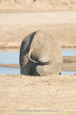 Afrikanischer Elefant, Loxodonta africana, 20141022-MSF2067
