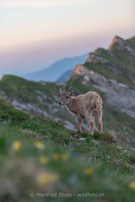 Alpensteinbock, Capra ibex, Jungtier, 20190601-9169