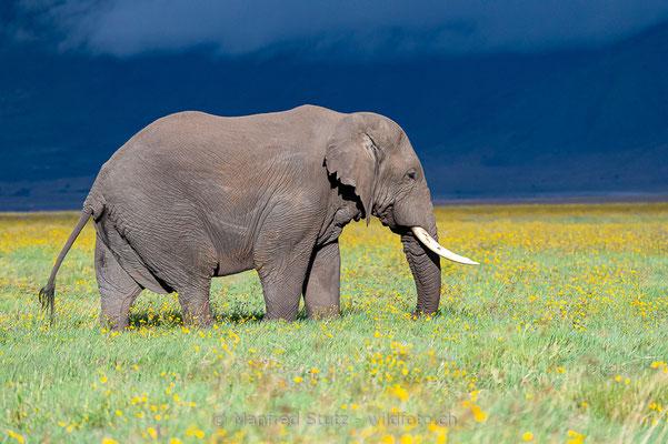 Afrikanischer Elefant, Loxodonta africana, 20140526-MSF0378
