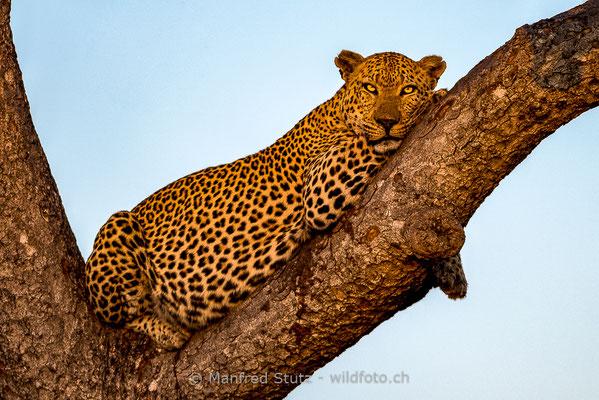 Afrikanischer Leopard, Panthera pardus pardus, 20170701-DSC-3387