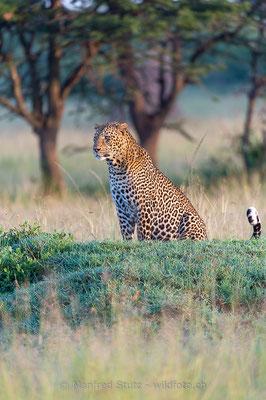 Afrikanischer Leopard, Panthera pardus pardus, 20160205-D040283
