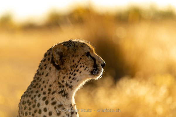 Gepard, Acinonyx jubatus, 20161006-D4D4565