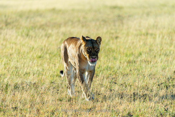 Afrikanischer Löwe, Panthera leo, Weiblich, _MSF0847