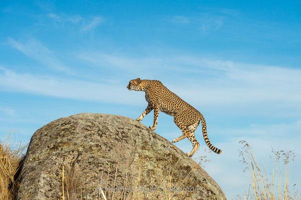 Gepard, Acinonyx jubatus, 20161007-D4D6823
