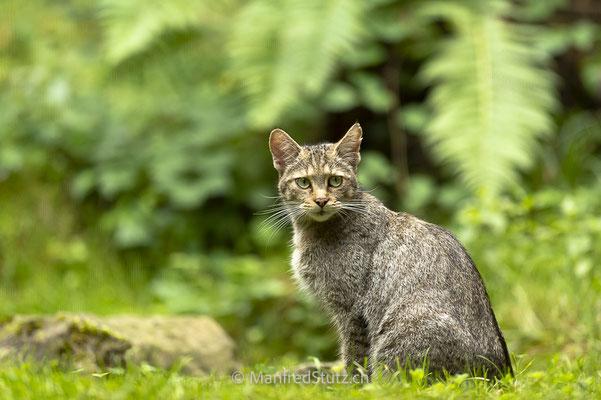 Wildkatzen Mama, Wildnispark Zürich