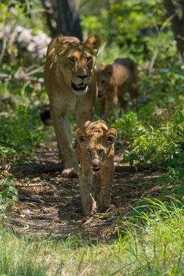 Afrikanischer Löwe, Panthera leo, Weiblich, Jungtiere, 20150307-BW.2015.041