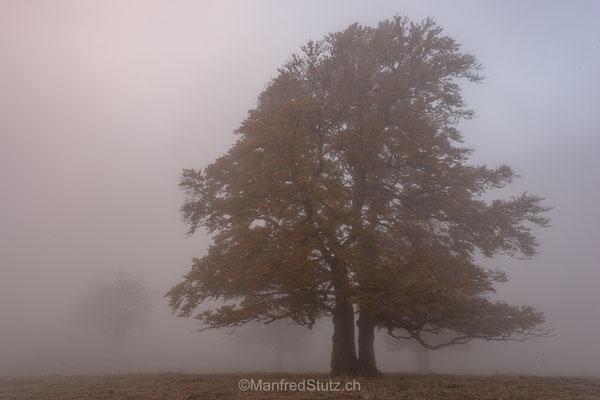 Nebelbaum beim Creux du Van