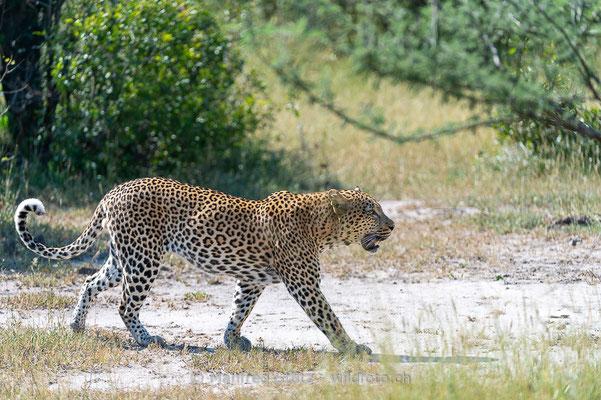 Afrikanischer Leopard, Panthera pardus pardus, 20130224-MSF2104