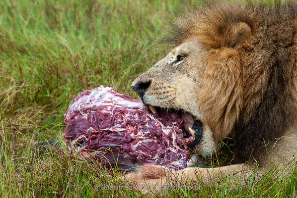 Afrikanischer Löwe, Panthera leo, Männlich, _MSF6757