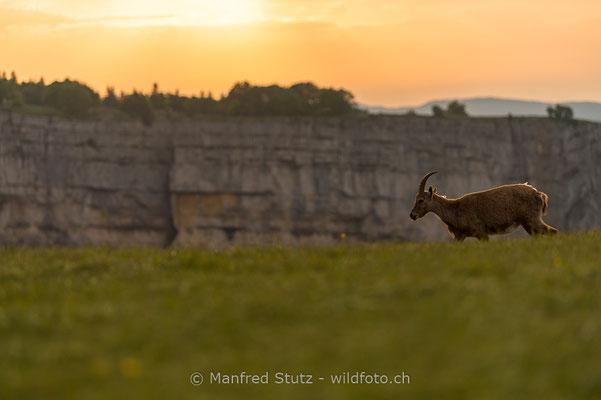 Alpensteinbock, Capra ibex, Steingeiss, Weiblich, 20180526-D4D0152