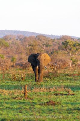 Afrikanischer Elefant, Loxodonta africana, 20120924-MSF5877