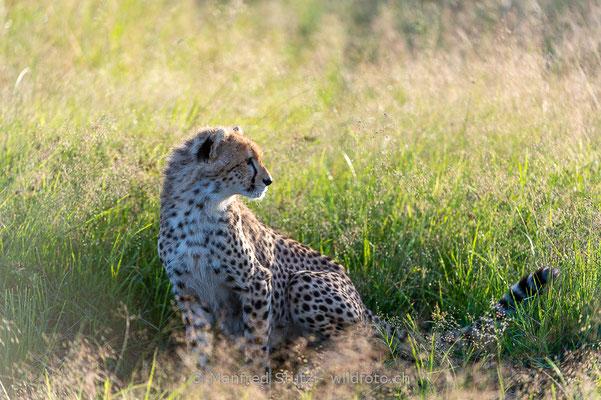 Gepard, Acinonyx jubatus, 20160206-D041258