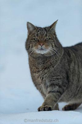 Europäische Wildkatze, Zoo des Marécottes, Kanton Wallis