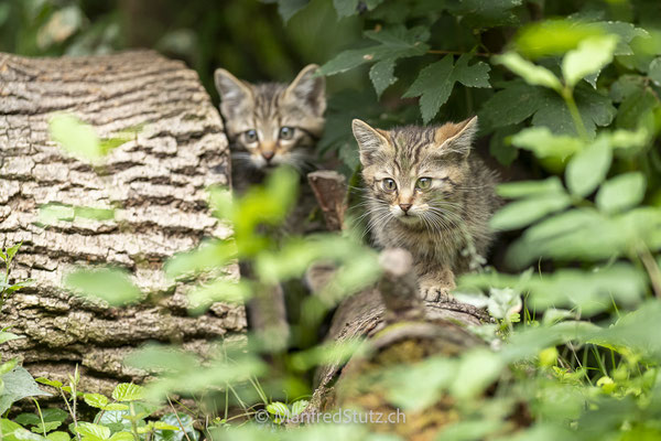 Junge Wildkatzen, Wildnispark Zürich