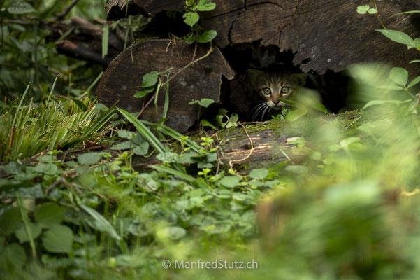 Junge Wildkatze (wildpark)